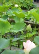 紫陽花と花菖蒲-10
