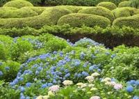 紫陽花と花菖蒲-11