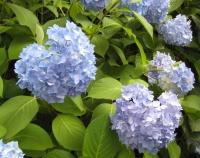 紫陽花と花菖蒲-12