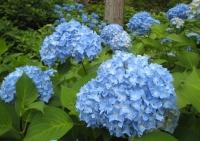 紫陽花と花菖蒲-13