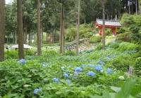 紫陽花と花菖蒲-14