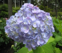 紫陽花と花菖蒲-15
