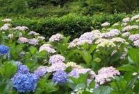 紫陽花と花菖蒲-16