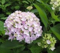 紫陽花と花菖蒲-17