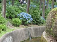 紫陽花と花菖蒲-18