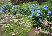 紫陽花と花菖蒲-19