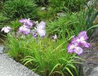 紫陽花と花菖蒲-20