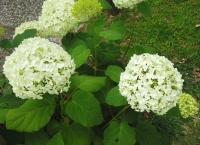 紫陽花と花菖蒲-22