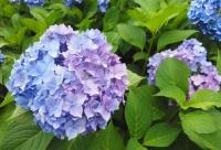 紫陽花と花菖蒲-23