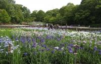 紫陽花と花菖蒲-30