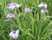 紫陽花と花菖蒲-31