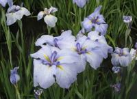 紫陽花と花菖蒲-32