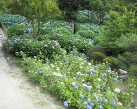 紫陽花と花菖蒲-35