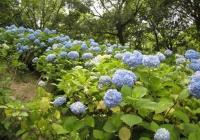 紫陽花と花菖蒲-36