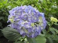 紫陽花と花菖蒲-37
