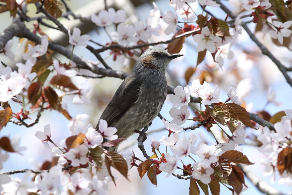 GS6A1418桜ヒヨドリ