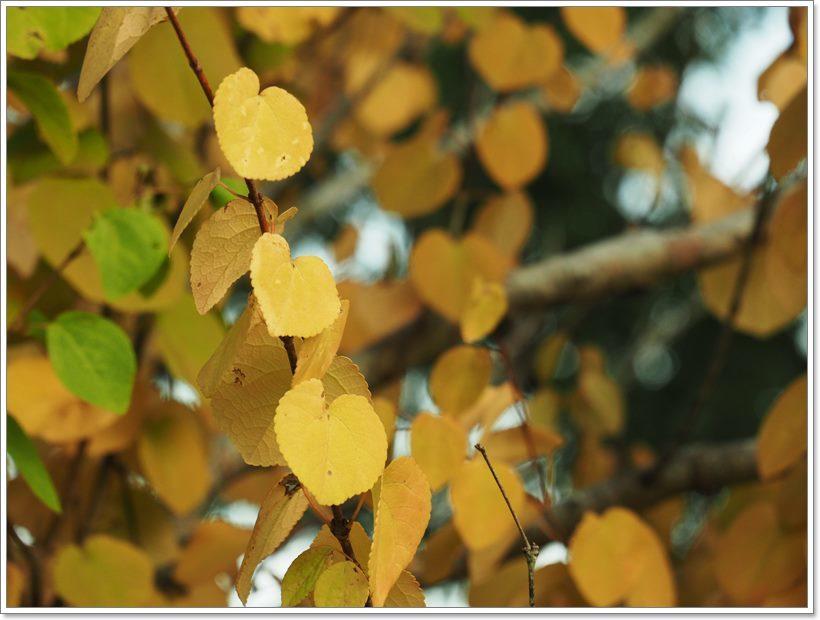 P9033727 桂の木の葉