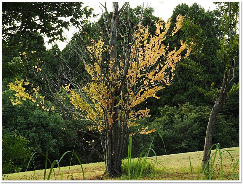 P9033729 桂の木