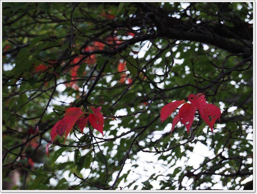 P9033746S 桜の木