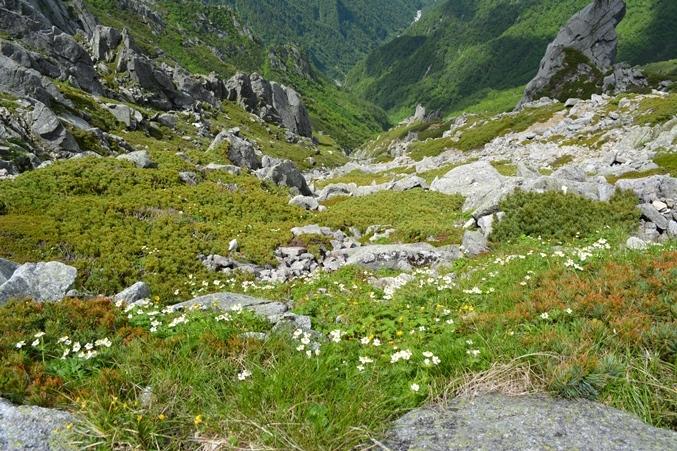 中岳帰路から見下ろすチングルマ