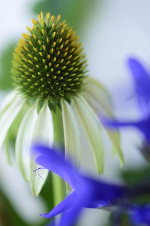 Echinacea_16_8_15_1.jpg