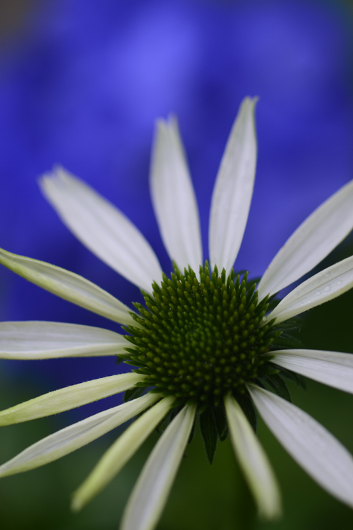 Echinacea_17_7_2_1.jpg