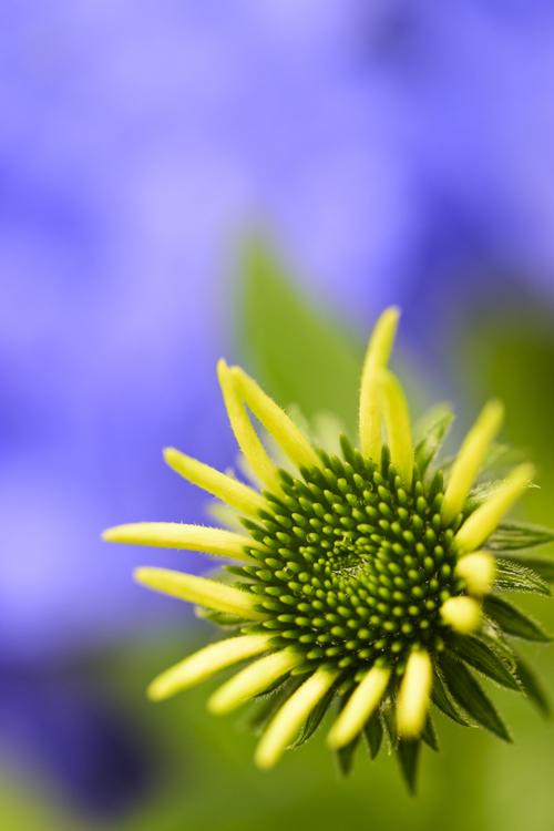 Echinacea_17_7_2_2.jpg