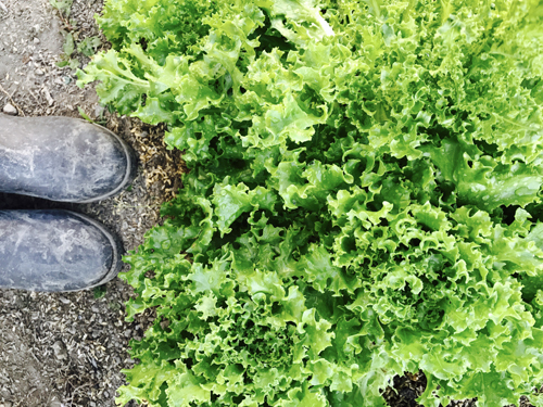 lettuce_17_6_5.jpg