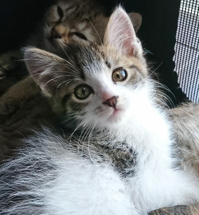フワリくん(2ヶ月位) キジ白 男の子