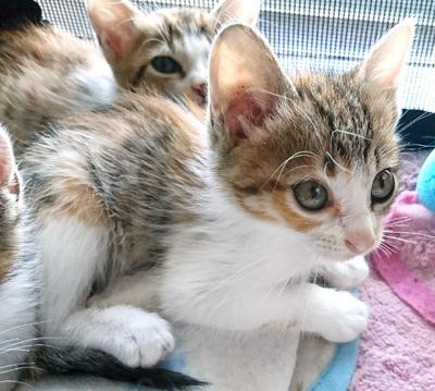 キラリちゃん(2ヶ月位) 三毛 女の子