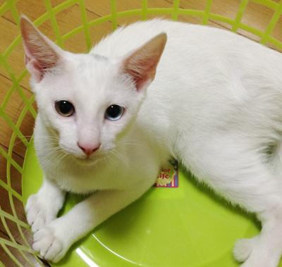 オッドアイの白猫(頭に薄グレー)オットくん(4ヶ月)参加します