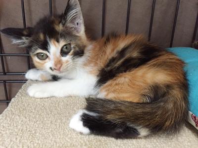 子猫なのに妖艶な三毛のポテコちゃん(2ヶ月半)
