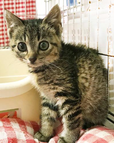 キジトラの女の子 リリコちゃん(4ヶ月位)