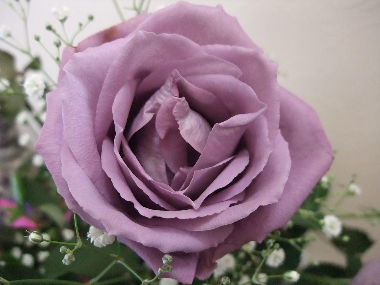 1280px-Blue_Rose_APPLAUSE.jpg