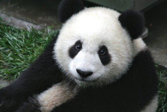 なんでパンダは白黒なの?