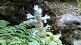 斜里岳8月花2