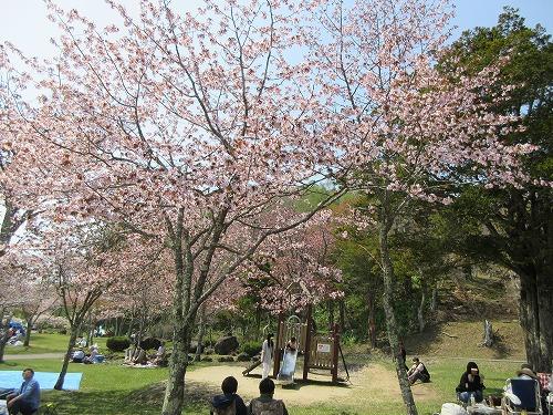 厚岸子野日公園桜