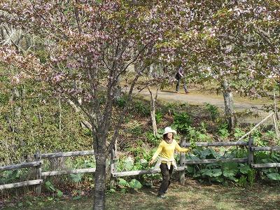 厚岸子野日公園桜3