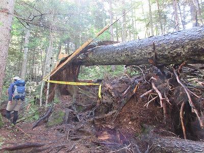 オンネトー登山道倒木