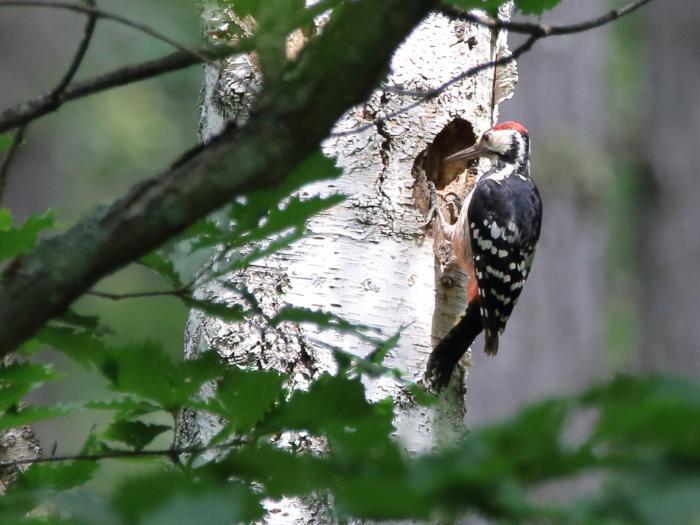 NN7A0275戸隠森林植物園 オオアカゲラ_convert_20170806202433