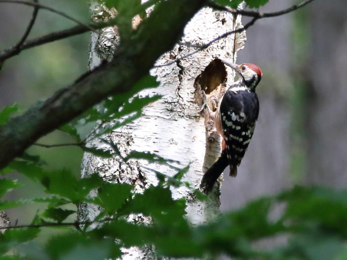 NN7A0278戸隠森林植物園 オオアカゲラ_convert_20170806202454