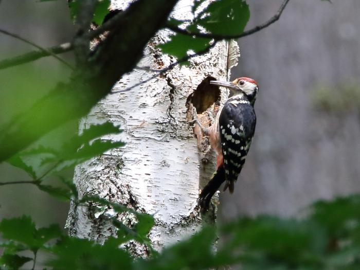 NN7A0312戸隠森林植物園 オオアカゲラ_convert_20170806202542
