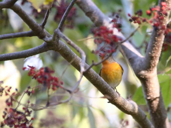 NN7A0685森林植物園 ムギマキ_convert_20171105190628