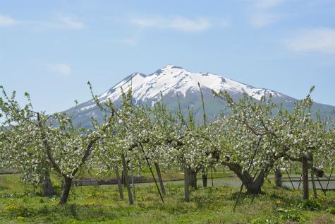 ブログ岩木山リンゴ花2
