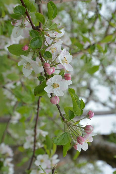 ブログ岩木山リンゴ花4