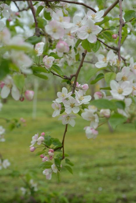 ブログ岩木山リンゴ花5