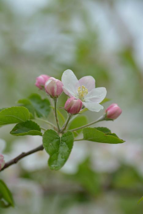 ブログ岩木山リンゴ花8
