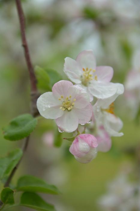 ブログ岩木山リンゴ花7