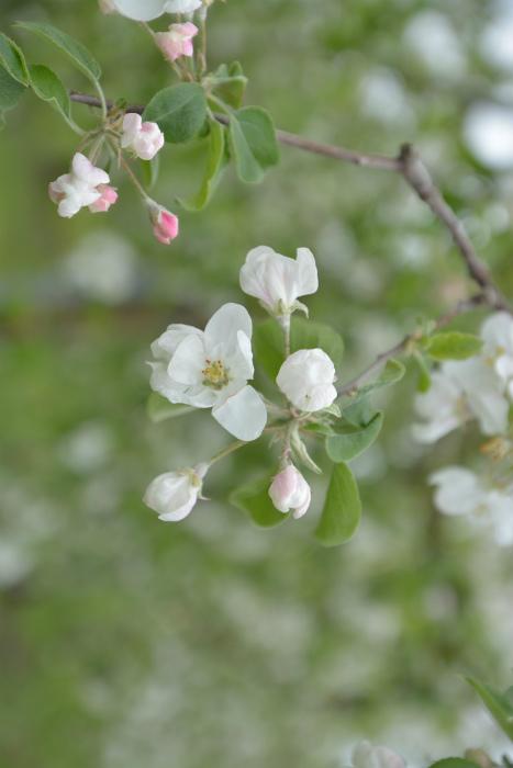 ブログ岩木山リンゴ花6