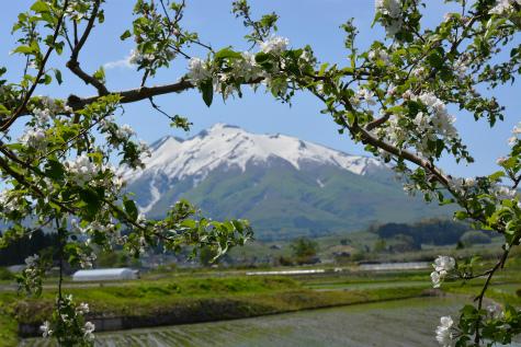 ブログ岩木山リンゴ花3